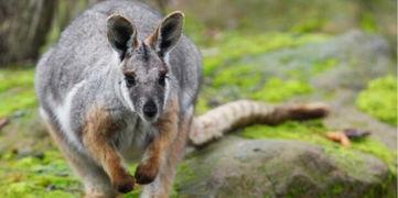 法国一动物园遭人为破坏 一只沙袋鼠趁机出逃