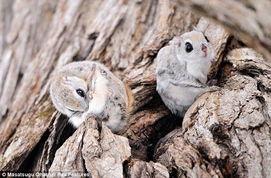 亚鼯鼠也被称为俄罗斯飞鼠.它们喜欢栖息在啄木鸟留下的树洞里,平...