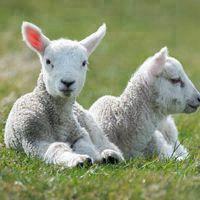 羊做微信头像吉祥吗 微信头像图片大全