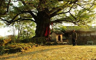 镇天珑-这棵白果树(银杏)位于开阳县城关镇鱼上村石头田组,是林业管理部...