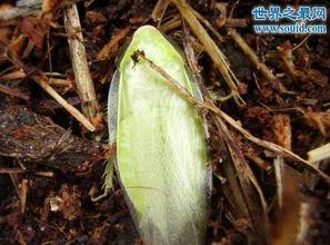 古巴蟑螂,绿色的蟑螂 并不是居所中的害虫