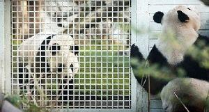 人与羊配种-...甜甜和阳光未能交配-英农场主培育出 熊猫羊羔 模样超萌