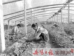 内黄县东庄镇镇留守妇女为大棚瓜菜种植户当钟点工 -安阳日报电子版