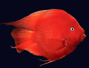 财神鱼图片