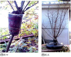 日本红枫盆景的高压繁殖过程