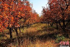 ...河西走廊的张掖大地已是赤橙黄绿青蓝紫的七彩世界.梨园里,落...