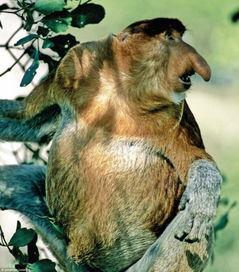 紫枯鱼人-长鼻猴.长鼻猴是灵长类动物中,鼻子最大的一种.而且最大可以长到...