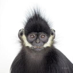 图片故事 猴年识猴