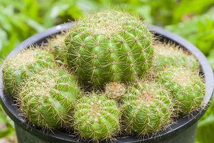 仙人球图片欣赏及名称大全 仙人球品种