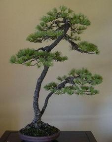 盆景 文人树