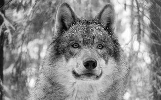 ...重回美怀俄明州动物保护名单