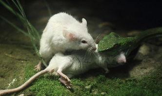 ...过来的一条蛇,在蛇准备吞下其中一只小白鼠时,另一只小白鼠尽其...