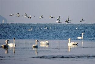 大批候鸟飞抵江西鄱阳湖越冬