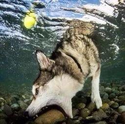 狗狗入水叼球,哈士奇亮了 网友 二哈拉雪橇谋生前是怎么生活的