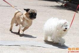 狗狗糖尿病是一种内分泌性的疾病