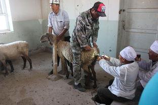 羊40只,预计配种改良覆盖面达到1000