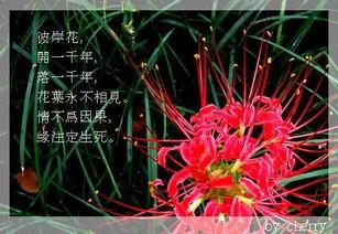 我叫曼珠沙华-我的彼岸花叶子都快枯了,是不是要死了