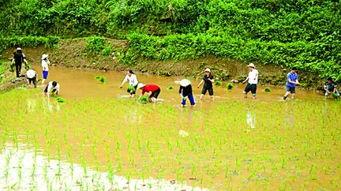 镇天珑-商报记者         今年插秧时,万州太安镇的留守老人何怀珍充满了感动....