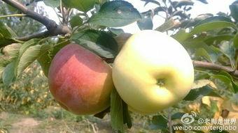 丰满肥熟农村老鸡-这个小苹果没有套袋,已经是红彤彤的了.   鸡上树,还有虫子的安生...
