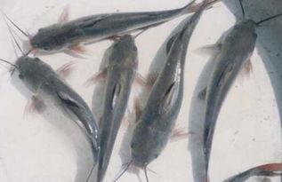 胡子鲶鱼养殖的病害防治技术