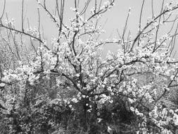观测及气象因素综合分析,清明节期间,重瓣樱花、西府海棠、丁香、...