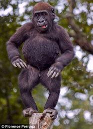 法国小猩猩木桩上秀舞蹈令人捧腹