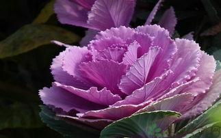 挛e]v榛b {-紫甘蓝的营养价值、吃紫甘蓝的好处   一、紫甘蓝的营养价值   1.紫甘...
