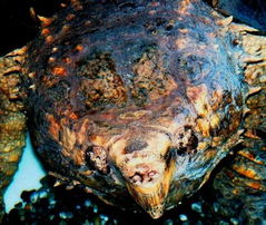 101dd唯鳄独尊 09 CB南美拟鳄和佛苗都孵化出来喽