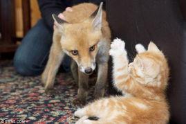 14日报道,在英国肯特的一家动物救助中心里,一只受伤的狐狸与3只...