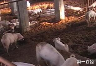 养猪场发酵床怎么做 养猪发酵床的制作方法