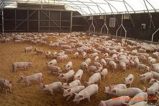 什么是发酵床养猪菌种 发酵床养猪怎么样 发酵床养猪价格多少