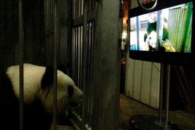 能力下降 看 AV 后交配成功  中的大熊猫正在观看