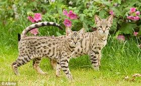杂交 超级猫 风靡英国引发恐惧