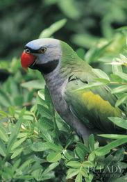 虎皮鹦鹉,牡丹鹦鹉,鹦鹉的饲养和调教 太平洋时尚网专区