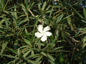 ...区内经常种植的夏季开白色花,花期比较长的树是什么树