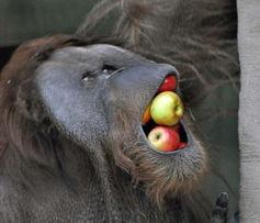 着众多游人的面一次性将7个苹果塞进嘴里,淡定地咀嚼完毕,这张大...