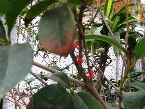 剪红花步骤-2、桂花树主杆上萌生的重叠幼枝可考虑剪去,以积蓄养分,减少虚耗...