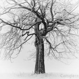 黑白摄影 歌 树 jpg