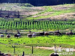 齐巴洛依村田园牧场交响曲-新疆喀纳斯梦幻之旅全景大扫描