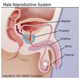 膀胱、前列腺、尿道、阴茎、睾丸(从上往下)-前列腺癌 基本知识