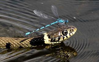 ...英国萨福克郡,一条蛇正游过池塘,一只懒惰的蜻蛉站在蛇的头顶,...