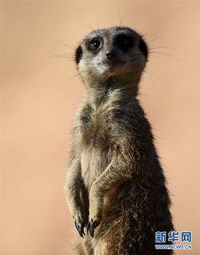 博狗bf88-这是4月14日在法国圣艾尼昂博瓦尔动物园里拍摄的一只猫鼬.博瓦尔...