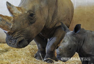 2011年,法国博瓦尔动物园一只雌性白犀牛和它4岁的宝宝.(图片来...