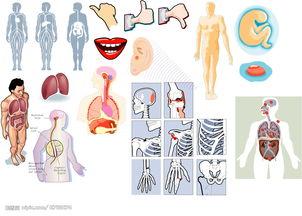 矢量人体构造图图片