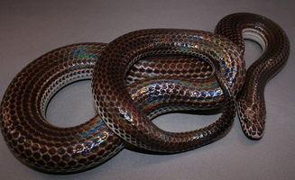 闪皮蛇-闪鳞蛇,海南闪鳞蛇简介 闪鳞蛇饲育心得