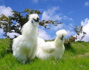 属鸡的和什么属相最配