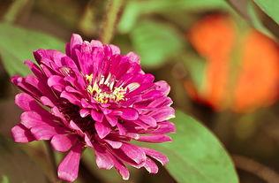 五色菊-五彩草菊