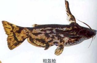 鲶鱼网箱高效养殖技术