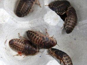 如何驱除蟑螂