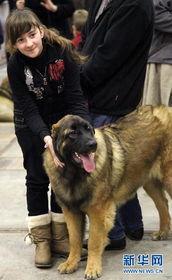 博狗bf88-12月18日,在比利时布鲁塞尔,一位少女带着牧羊犬参加犬博会.第...
